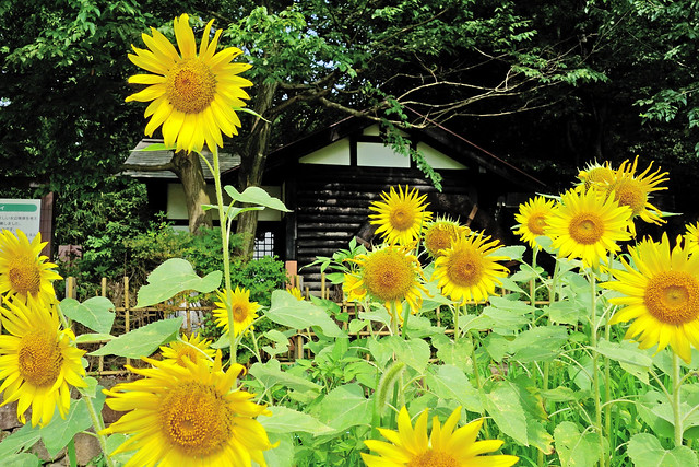 Photo:SONY Cyber-shot DSC-RX100 Test Shot (Watermill and Sunflower) By Dakiny
