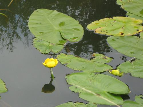 Waterlilies at Wicken Fen