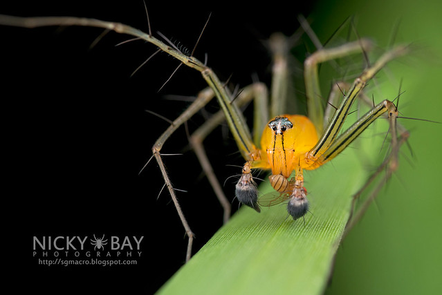 Lynx Spider (Oxyopidae) - DSC_2871