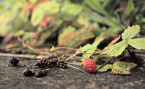 The last strawberry by Helen in Wales