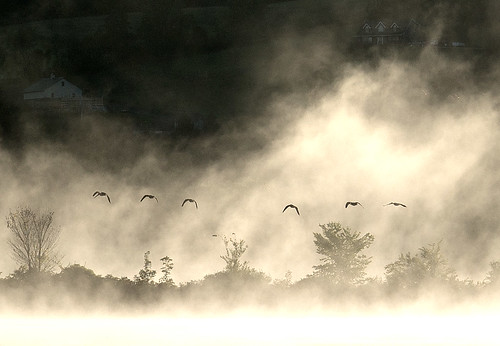 morning mist birds fog geese pond flight wetland