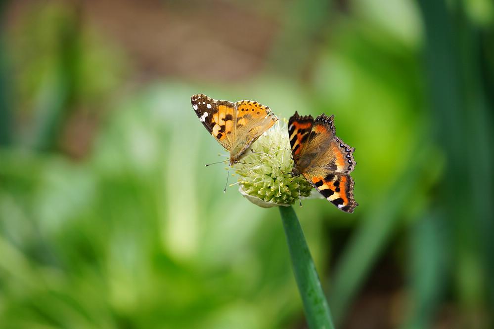 南亞蛺蝶 Aglais kaschmirensis-4