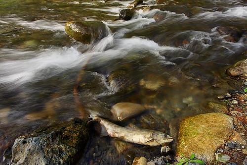 longexposure autumn canada canon river eos death hope bc britishcolumbia salmon northamerica cascade turbulence salmonrun sigma1020 2013 canon40d canon40dcanon samird