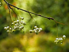 White Sorbus Berries