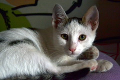 animal, small to medium-sized cats, pet, mammal, european shorthair, turkish angora, javanese, tonkinese, cat, whiskers, domestic short-haired cat,