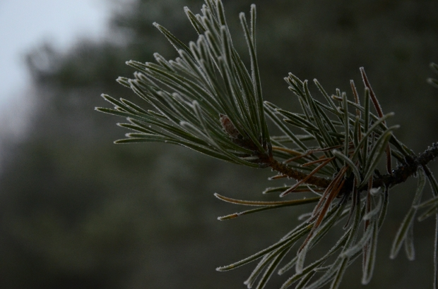 Frozen Pine Tree | December day18