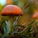 Small photo of Amanita Muscaria (Red Mushroom)