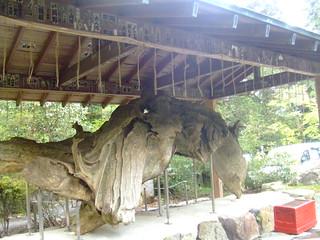 箱根神社・けけら木