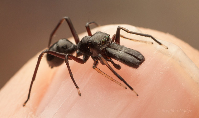 Ant-mimic jumping spider on my finger