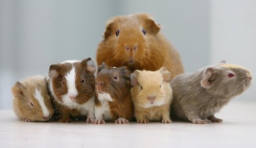 Avalon Guinea Pig Rescue by AvalonGPR