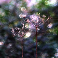 Cow Parsley from Jupiter