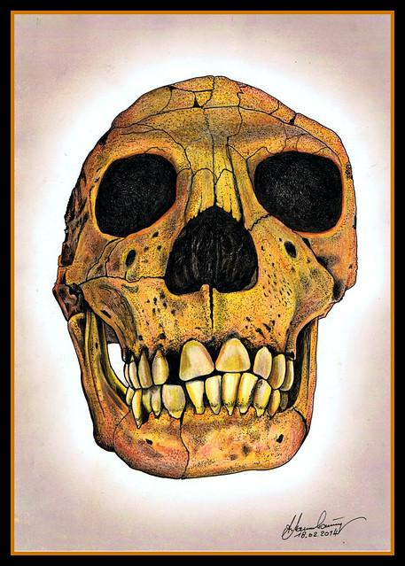 Schädel eines Homo ergaster