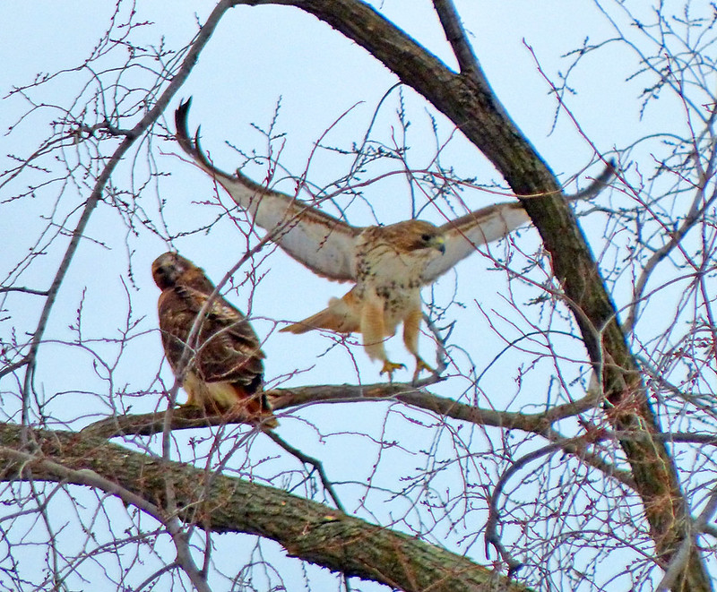 Red tail pair in Tompkins Square