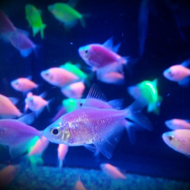 Neon Fish at Walmart Neon Fish From Walmart Plus