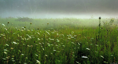 Queen Ann's Lace in morning mist
