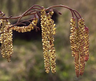 Alder Catkins - male and female