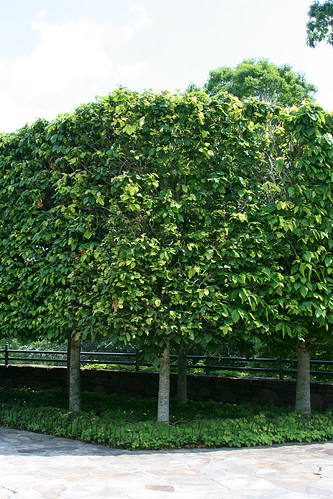 21_pleached_trees