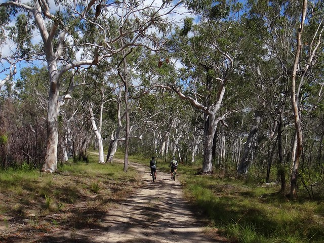 Eucalypts - Great Sandy National Park