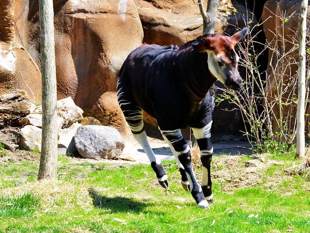Okapi Trot!