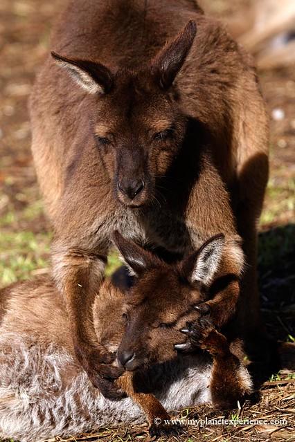 Red kangaroos -  Kangaroo Island, Australia