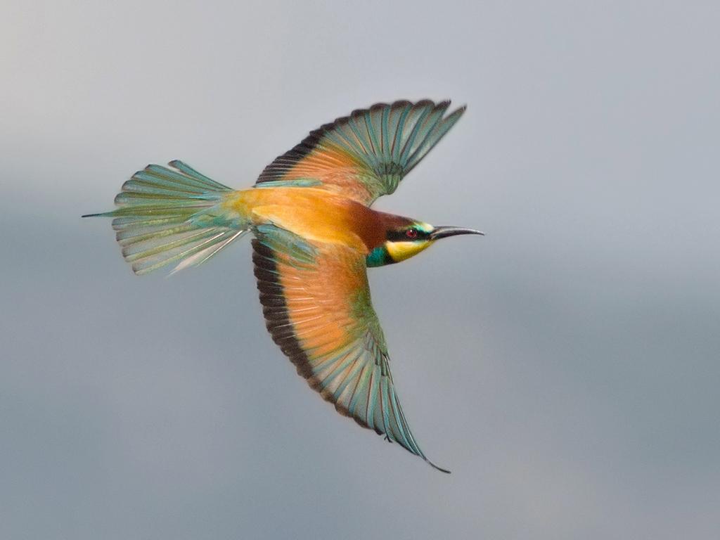 European Bee-eater 2014-05-03 (1a)