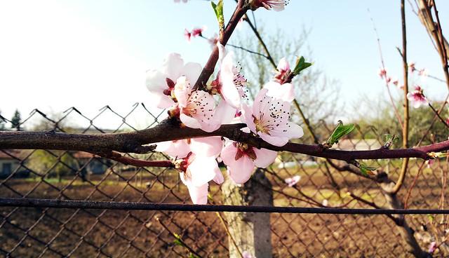 Hasan Yuzeir - Spring flowers on trees
