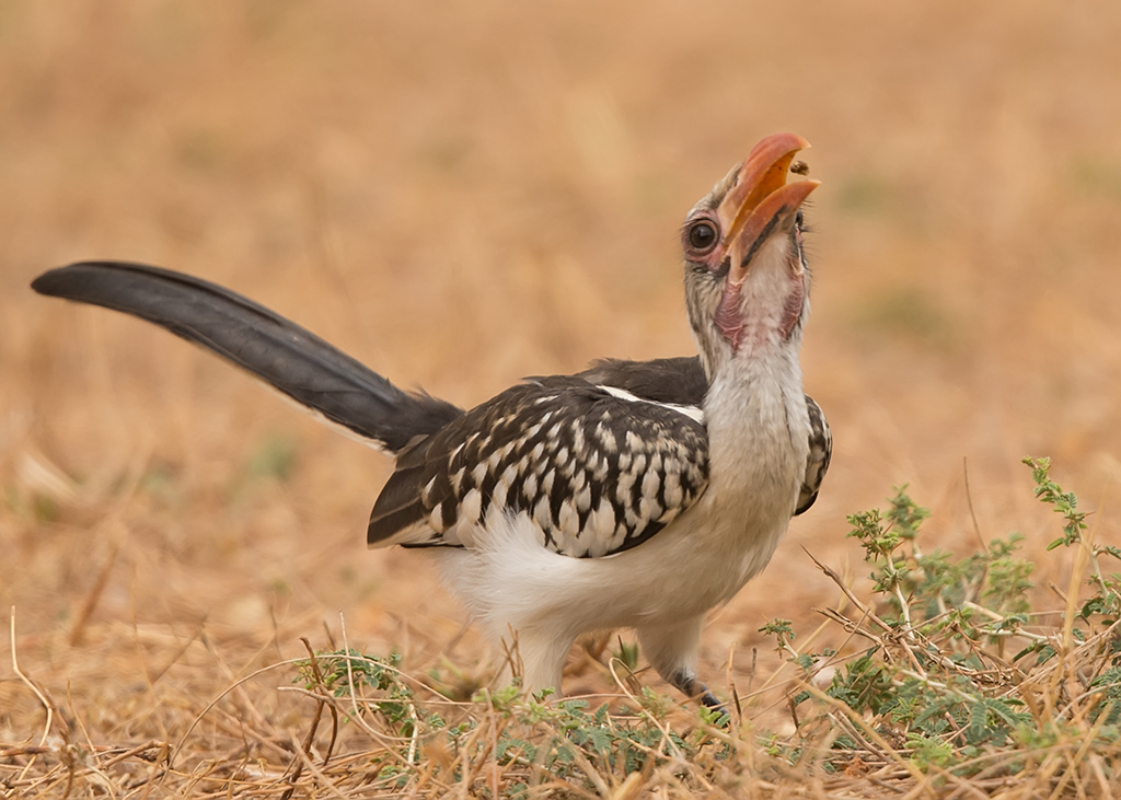 Red-billed Hornbill    Gambia
