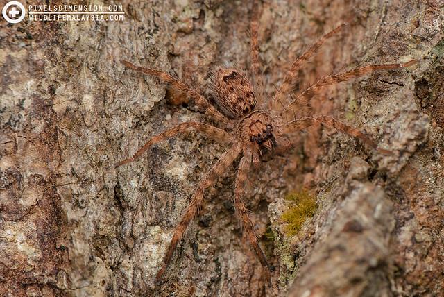 Subadult Huntsman Spider (Heteropoda sp. ♀)