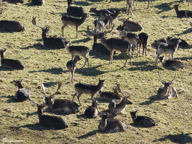 P1100979 - Fallow Deer, Dinefwr Park