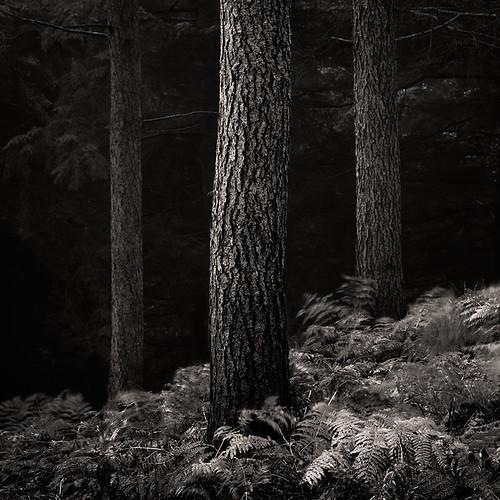 pine forest woods yorkshire bracken