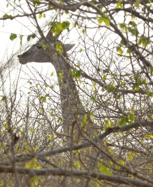 Giraffe in Camouflage!