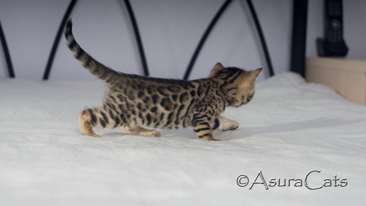 AsuraCats Raindrop - Brown rosetted Bengal kitten