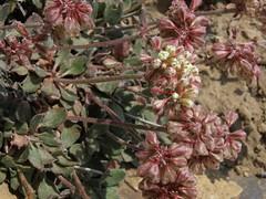 Panamint sulphurflower, Eriogonum umbellatum var. versicolor