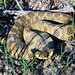Eastern Hognose Snake - Photo (c) USFWSmidwest, some rights reserved (CC BY)