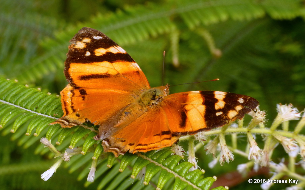 Orange Mapwing, Hypanartia lethe