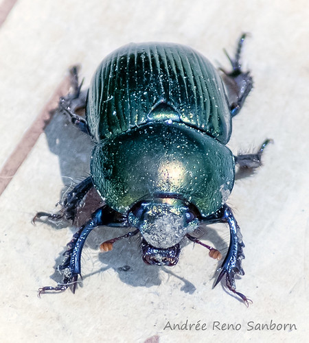 Splendid Earth Boring Beetle (Geotrupes splendidus)