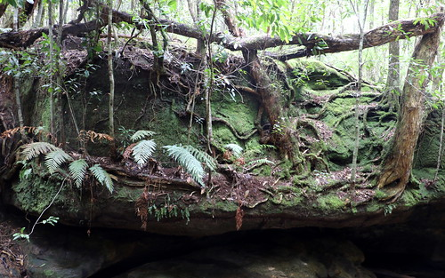 Trees on a rocky ledge (Tristianopsis laurina)
