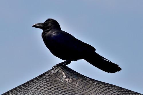 ズーラシアのハシブトガラス (Jungle crow of Yokohama Zoological Gardens.)