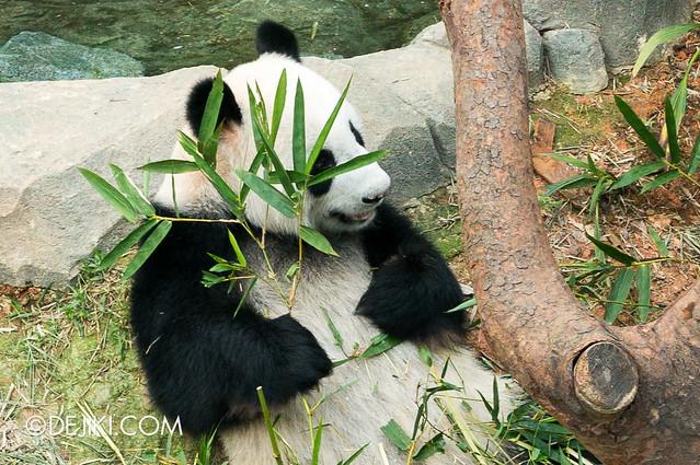 River Safari - Giant Panda Forest / Kai Kai 3