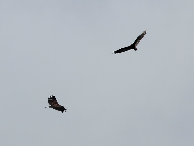 Bald Eagle and Turkey Vulture 20130531