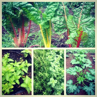 June 5 : #environment this is where I'm at - my garden!! #backyardfarming #organic #swisschard #mint #herbs #squash #vegetables #fmsphotoaday #onedaylate