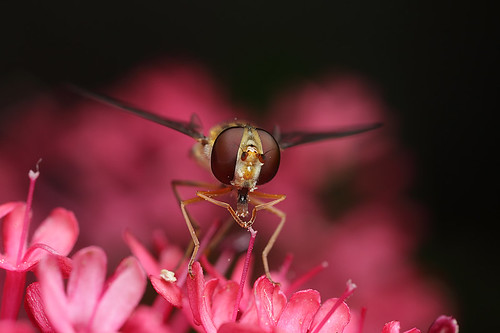 Hoverfly Episyrphus balteatus on valerian #2 by Lord V