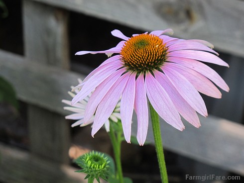 (32-5) The echinacea has started blooming - FarmgirlFare.com