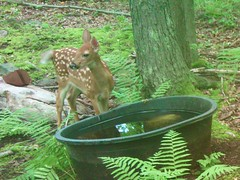 A Young Fawn at the Watering Hole