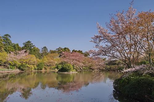 【写真】2013 桜 : 龍安寺/2020-01-22/IMGP9833