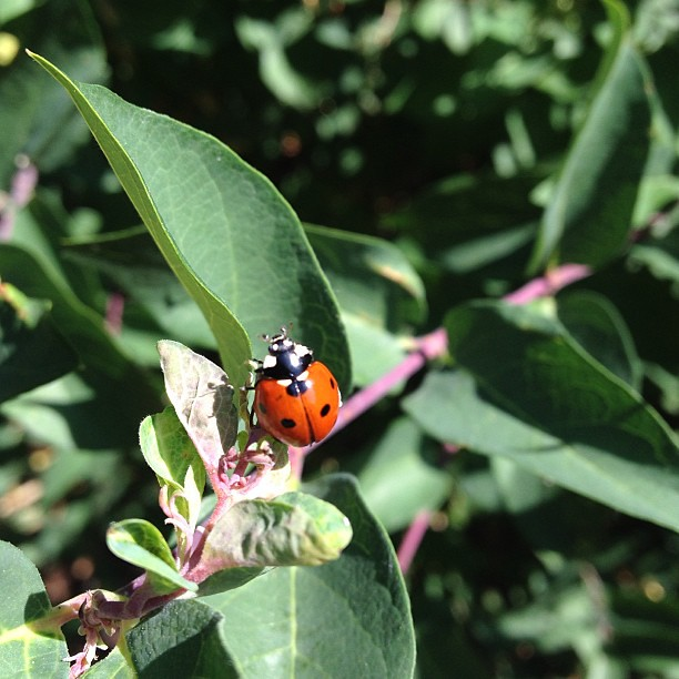 Day188 ladybug while I was doing yard work 7.7.13 #jessie365 #ladybug