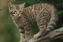 animal, small to medium-sized cats, pet, mammal, european shorthair, fauna, cat, wild cat, whiskers, domestic short-haired cat, wildlife,