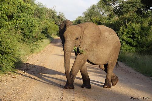Elefant, Kruger Park