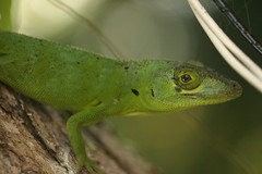 animal(1.0), green lizard(1.0), reptile(1.0), lizard(1.0), macro photography(1.0), green(1.0), fauna(1.0), african chameleon(1.0), close-up(1.0), lacerta(1.0), american chameleon(1.0), lacertidae(1.0), dactyloidae(1.0), iguana(1.0), scaled reptile(1.0), wildlife(1.0),