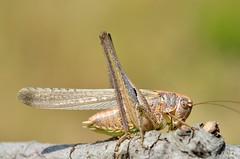 Platycleis intermedia male - Photo of Trausse